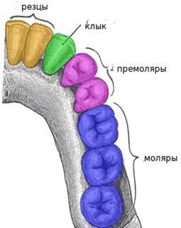 Зубы и их связь с акупункурой